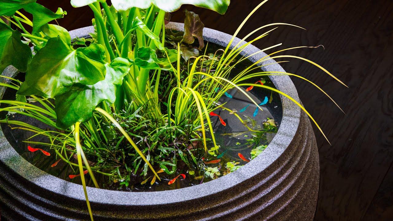 Guppy Riparium Patio Pond (No Filter Low Tech)